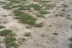 Lawn without endophyte grass destroyed by insects.